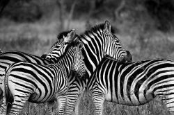zebra-1141302_640